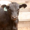 product - Black Angus Cattle